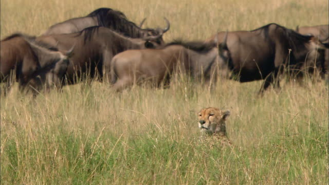 Medium shot cheetah lying in tall grasses with herd of wildebeests migrating in background / Masai Mara, Kenya