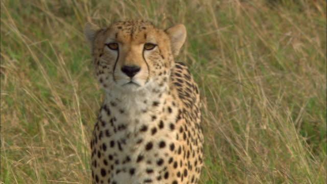 Medium shot cheetah walking and looking at CAM / sitting / Masai Mara, Kenya