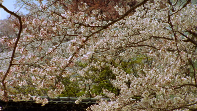 medium shot cherry blossoms trees blowing in the wind on grounds of himeji castle / himeji, japan - 城点の映像素材/bロール