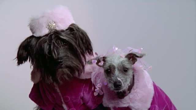 medium shot chinese crested powderpuff and hairless mexican dogs wearing pink coats/ california - pampered pets stock videos and b-roll footage