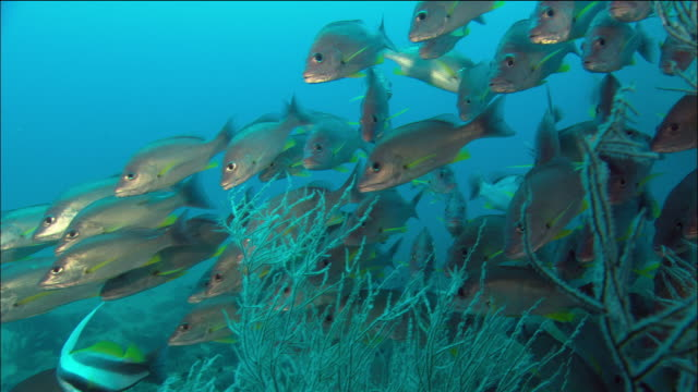medium shot coral trout and school of yellow snappers swimming among soft coral/ great barrier reef/ australia - soft coral stock videos & royalty-free footage