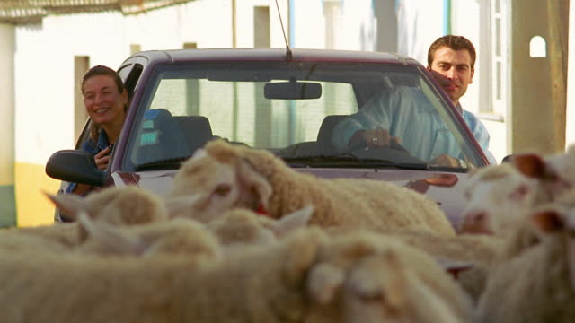 medium shot couple drives slowly through herd of sheep in village street / woman takes photos / portugal - flock of sheep stock videos & royalty-free footage