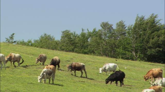 vídeos de stock, filmes e b-roll de medium shot cows grazing on hill/ umbria - umbria