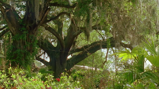 vídeos y material grabado en eventos de stock de medium shot crane shot from flower bushes to spanish moss hanging from tree branches - musgo español