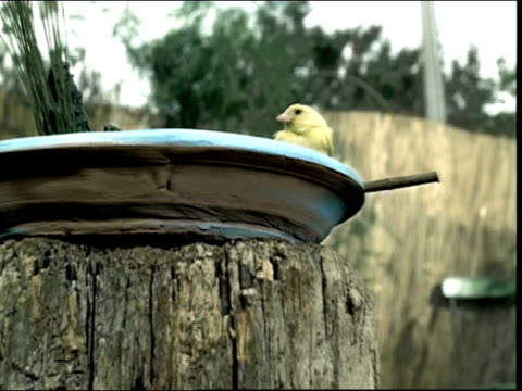 medium shot crane shot yellow bird perched on edge of bird bath on top of tree stump - crane shot stock videos & royalty-free footage