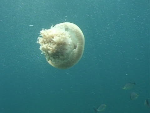Medium shot Crown Jellyfish in open water