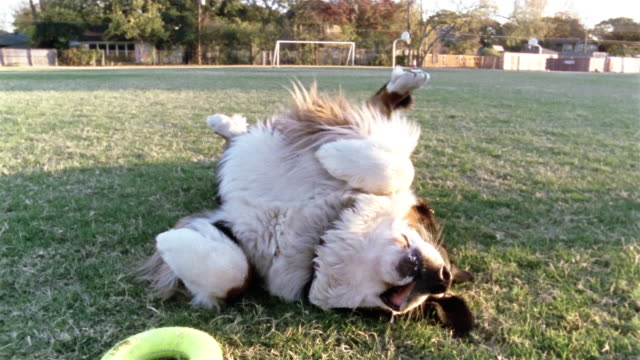 medium shot dolly shot bernese mountain dog lying on its back waving it paws / rolling around in the grass / black labrador lying next to it - lying on back stock videos & royalty-free footage