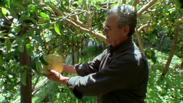 medium shot dolly shot man in garden showing off huge lemon hanging from tree / amalfi coast, italy - grove stock videos & royalty-free footage