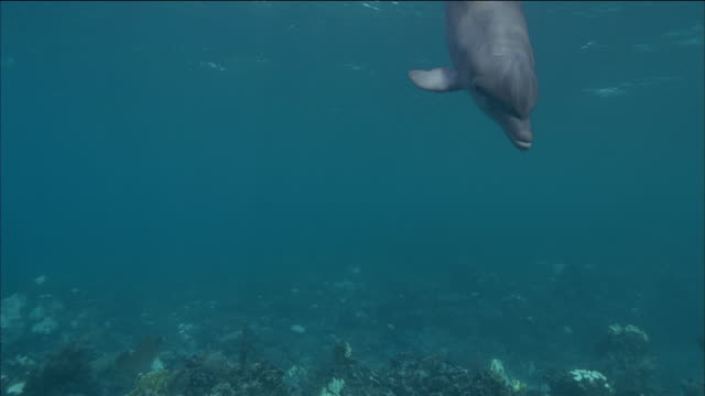 medium shot dolphin swimming underwater toward the cam / passing by / nassau, bahamas - aquatic organism stock videos & royalty-free footage
