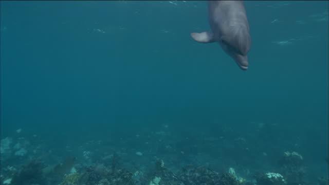 medium shot dolphin swimming underwater toward the cam / passing by / nassau, bahamas - nassau stock videos & royalty-free footage