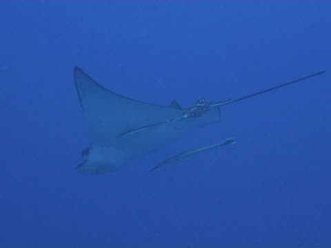 medium shot eagle ray in the blue passing under camera - stingray stock videos and b-roll footage