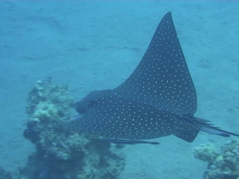 medium shot eagle ray in the blue passing under camera - eagle ray stock videos and b-roll footage