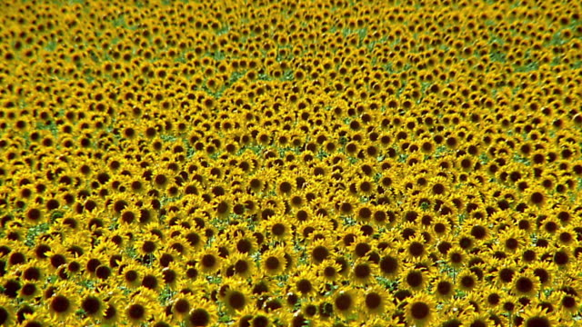 stockvideo's en b-roll-footage met medium shot field of sunflowers - oneindigheid