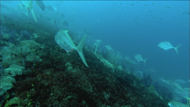 Medium shot fish teeming over coral growing on wreck of SS Yongala / Great Barrier Reef / Australia