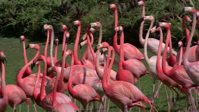 medium shot flock of flamingos walking around in a circle on lawn / miami, florida - flamingo stock-videos und b-roll-filmmaterial