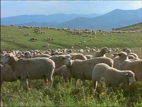 medium shot flock of sheep grazing in countryside / idaho - grazing stock videos & royalty-free footage