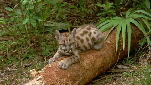 medium shot florida panther cub crouching on log and scratching log / florida everglades - raubtier stock-videos und b-roll-filmmaterial