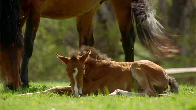 Medium shot foal lying on ground and eating grass / rolling on back / standing near mother horse grazing