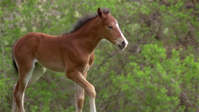 medium shot foal running through meadow / mother walking up to foal / foal nibbling at tail - 子馬点の映像素材/bロール