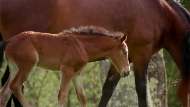 medium shot foal stomping feet next to mother's tail / rolling in grass and grazing / shaking head at gnats - 子馬点の映像素材/bロール