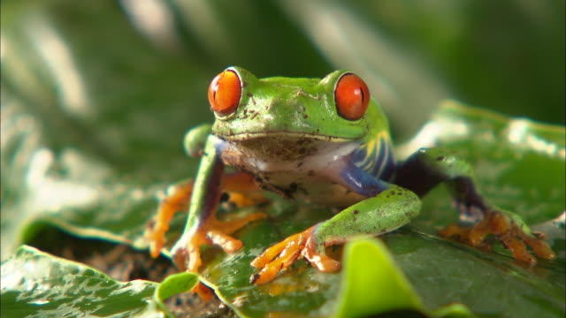Medium Shot Front Angle - Red eyed frog facing camera, breathing / Costa Rica
