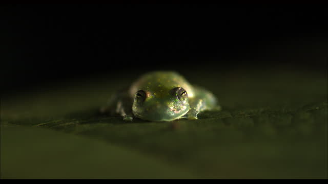 Medium Shot Front Angle Slow Motion - Glass frog on leaf catches and eats a fly / Costa Rica