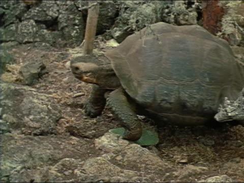 vidéos et rushes de 1971 medium shot giant tortoise walking along ground / galopagos islands - lenteur