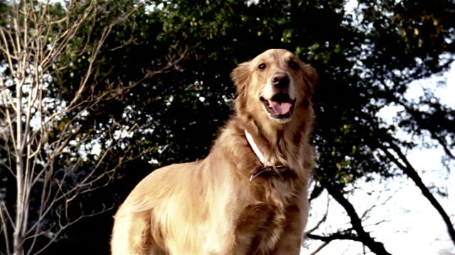 medium shot golden retriever standing and looking around with blowing trees in background/ zoom in dog's face/ dallas, texas - dog tail stock videos and b-roll footage