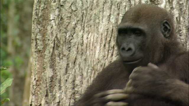 Medium shot gorilla standing in front of tree and beating chest / Cameroon