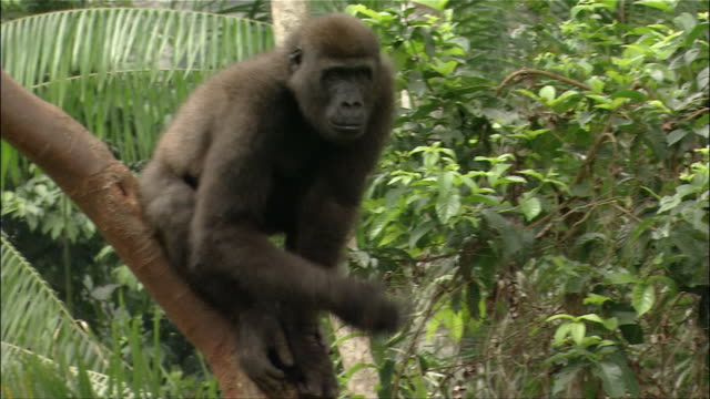 Medium shot gorilla standing on tree branch against green leafy background and beating chest / Cameroon