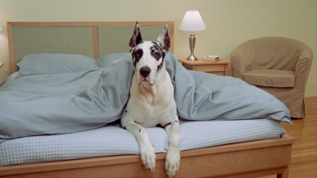 medium shot great dane under covers at foot of bed/ california - duvet stock videos & royalty-free footage