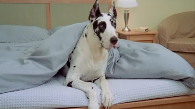 Medium shot Great Dane under covers at foot of bed/ California