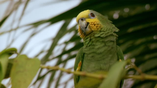 medium shot green parrot perching and looking around / french guiana - french guiana stock videos & royalty-free footage