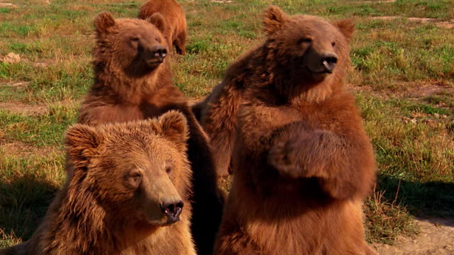 stockvideo's en b-roll-footage met medium shot group of grizzly bears sitting in grass with two gesturing and waving / olympic peninsula, washington - ernstig bedreigde soorten