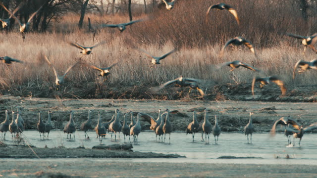 Medium shot - group of Sandhill Cranes take flight from a sandbar in the Platte River in the early morning.