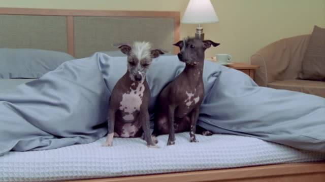 Medium shot Hairless Mexican dogs on bed/ California