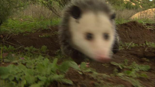 medium shot hand held - opossum sniffs the ground with green plants in background / california usa - beuteltier stock-videos und b-roll-filmmaterial