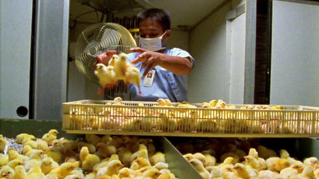 Medium shot hatchery worker wearing surgical mask tossing chicks from large basket into bins / Philippines