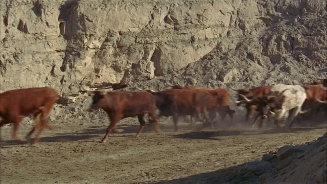 medium shot herd of cattle stampeding across dusty landscape - stampeding stock videos & royalty-free footage