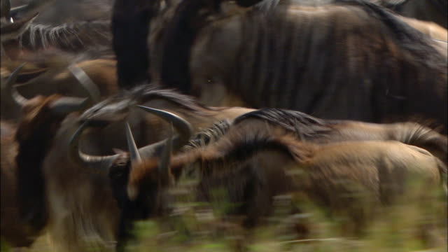 Medium shot herd of wildebeests packed tightly together and running during migration / Masai Mara, Kenya