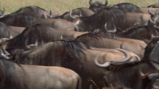 stockvideo's en b-roll-footage met medium shot herd of wildebeests packed tightly together and running during migration / masai mara, kenya - op hol slaan
