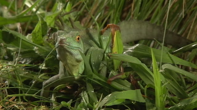 medium shot high angle slow motion - basilisk lizard in the grass startles / costa rica - dew stock videos & royalty-free footage