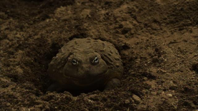 vidéos et rushes de medium shot high angle slow motion -  bullfrog burrows into earth / california usa - camouflage