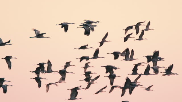medium shot - hundreds of sandhill cranes fly through the evening sky as they prepare to nest on the platte river during their northern migration. - large group of animals stock-videos und b-roll-filmmaterial