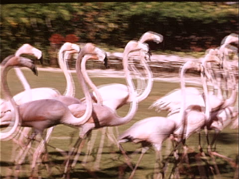1957 medium shot large group of flamingos running at ardastra gardens zoo and conservation center / nassau, bahamas  - flamingo bird stock videos & royalty-free footage