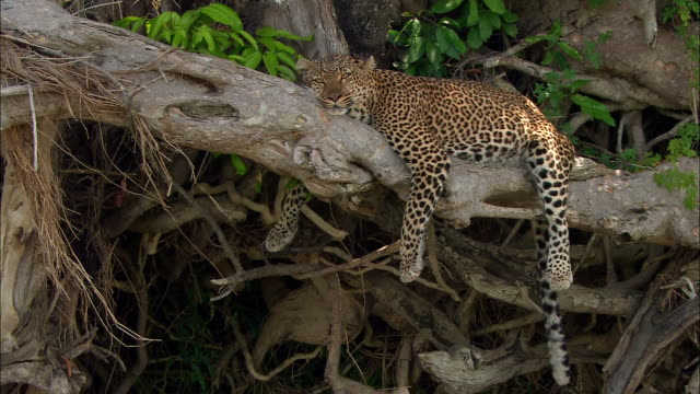 medium shot leopard lying on tree branch and resting / masai mara, kenya - laziness stock videos and b-roll footage