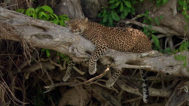 Medium shot leopard sleeping on tree branch / Masai Mara, Kenya