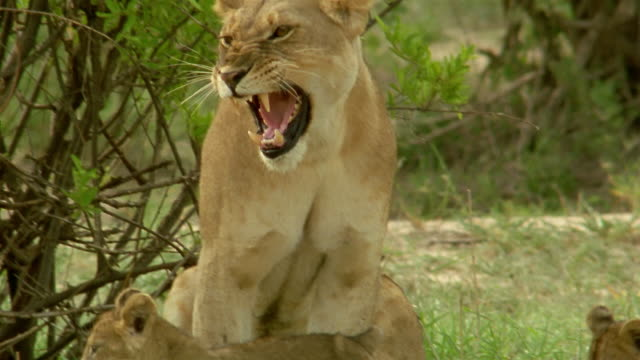 medium shot lion cubs (thin from lack of prey) walking up to mother / tilt up mother yawning - animal family stock videos and b-roll footage