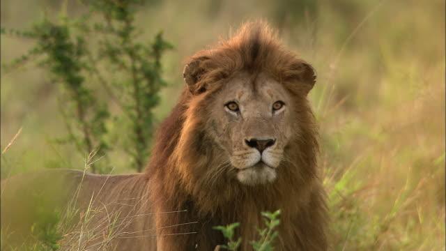 vídeos de stock e filmes b-roll de medium shot lion standing still and looking at cam / masai mara, kenya - leão