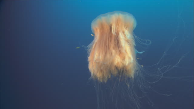 Medium shot lion's mane jellyfish moving through the water with small fish circling it / Queensland, Australia